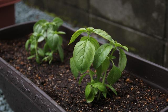 家庭菜園、プランターでバジルを栽培。
